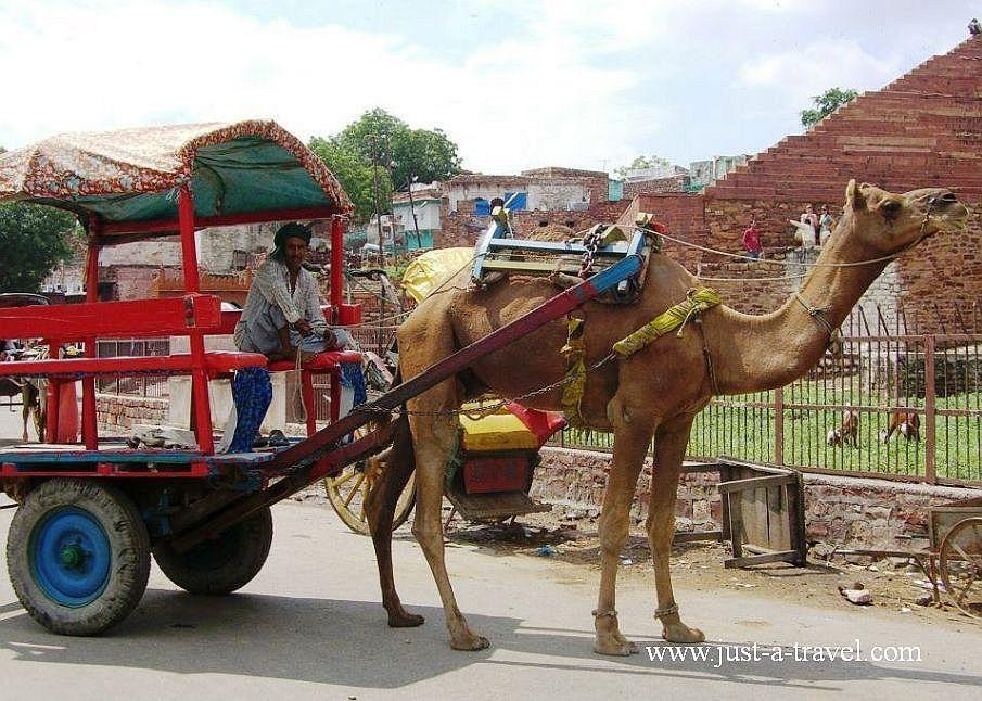 11.wielblad 1 - Zdjęcia z Indii