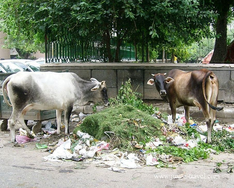 2. krowy2 1 - Zdjęcia z Indii