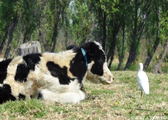 krowa i ptak w Xochicalco