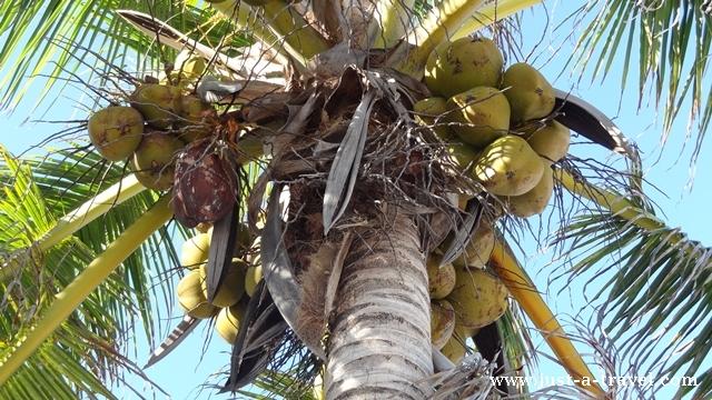 Palma z kokosami