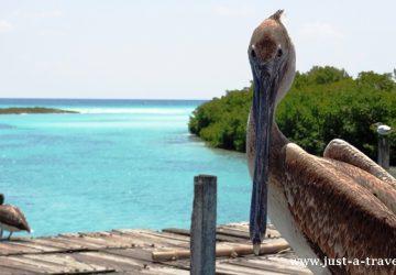 Punta Allen Pelikan brunatny pozujący do zdjęcia