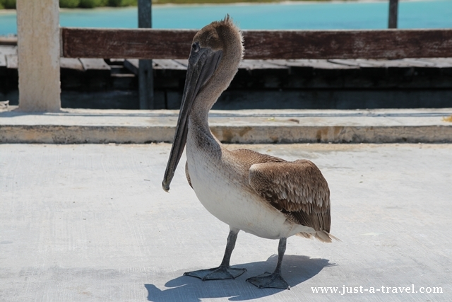 Pelikan samotnik