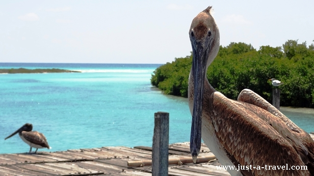 Pelikan brunatny pozujący do zdjęcia