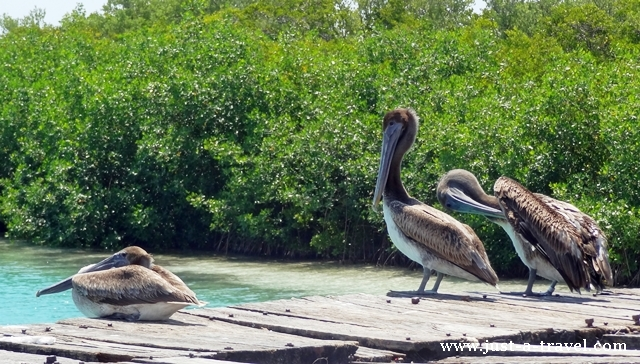 Pelikany marzyciele