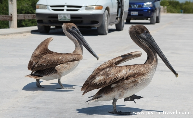 Pelikany na piechotę