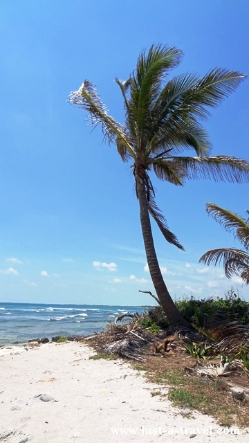 samotna palma
