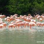 Celestún i flamingi