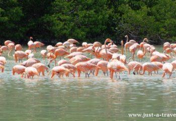 Celestun i Flamingi