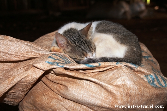 kubański kotek