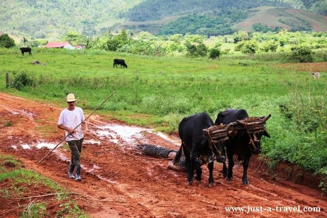 kubański rolnik i woły