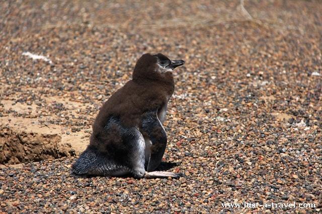 maly pingwin