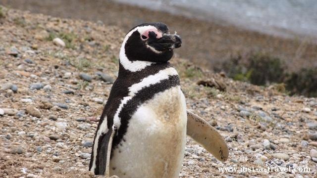 pingwin magellanski