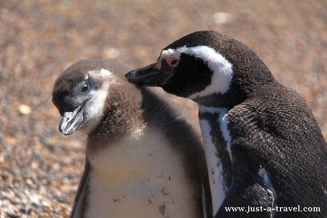 pingwinek z mama
