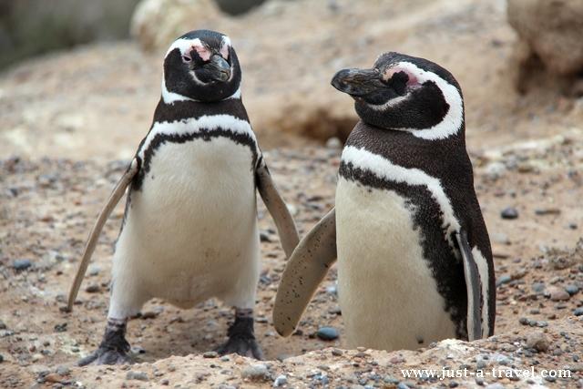 pingwiny magellanskie