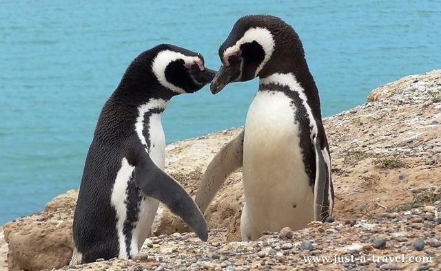 pocalunek pingwinow