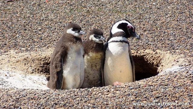rodzina pingwinow
