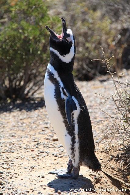 spiewajacy pingwin