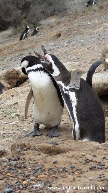 zaloty pingwina