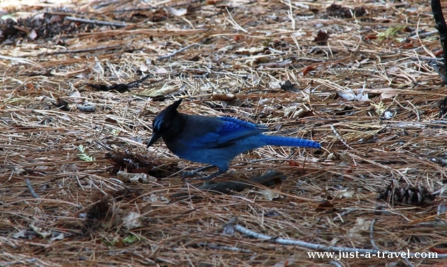 Modrosójka czarnogłowa