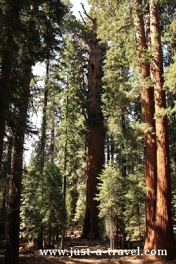 sekwojowy las