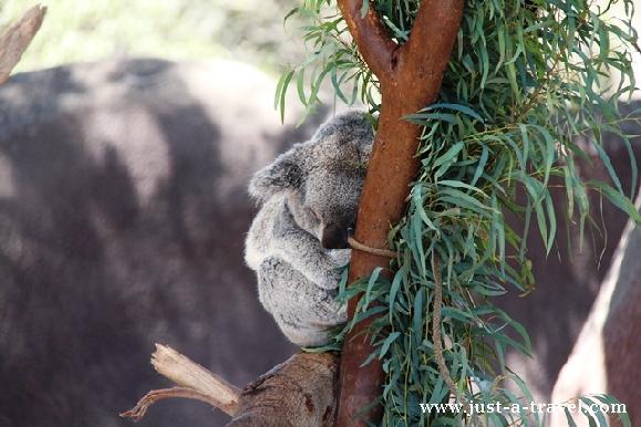Koala na patyku