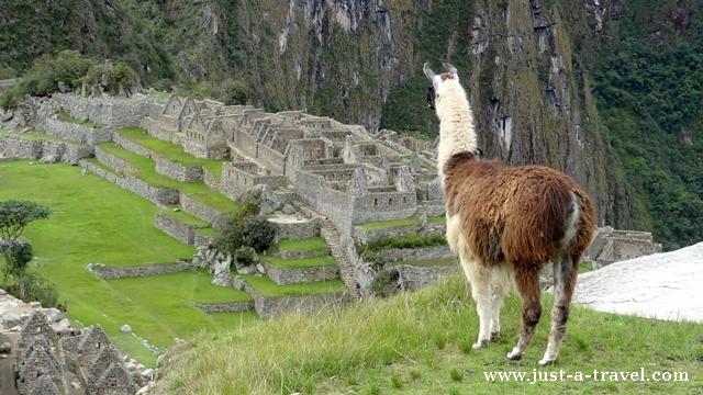 Alpaka nad Machu Picchu