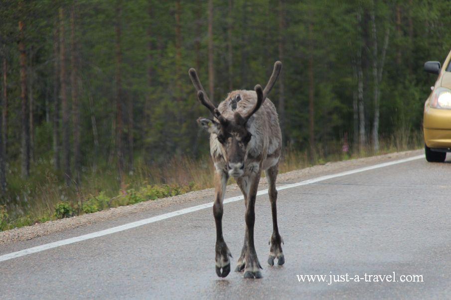 Pierwszy renifer w drodze do Rovaniemi - W drodze do Świętego Mikołaja