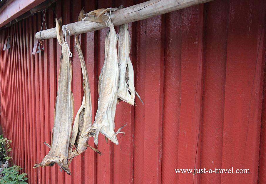 Dorsz suszony na wietrze - Lofoty - perły północnej Norwegii