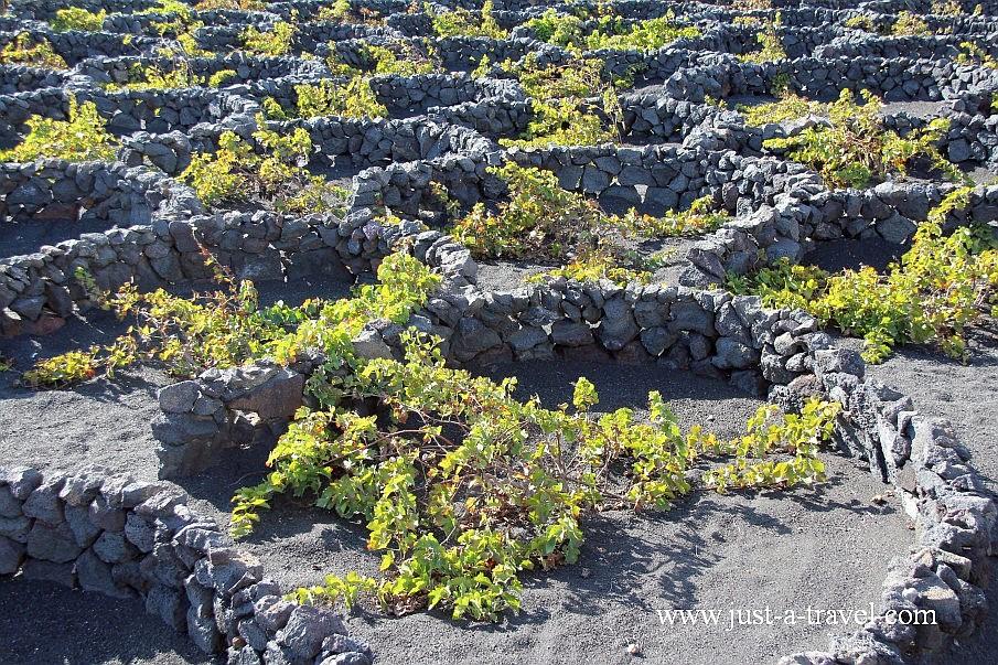 Pędy winogron na wyspie Lanzarote