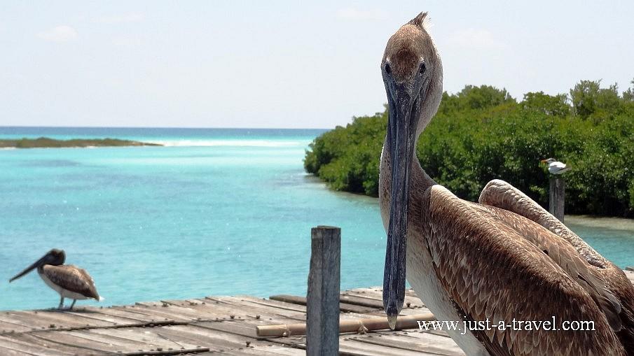 Pelikan z Punta Allen