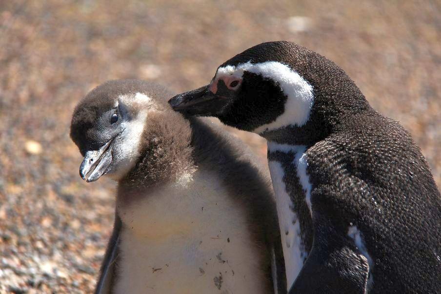Pingwiny z Punta Tombo