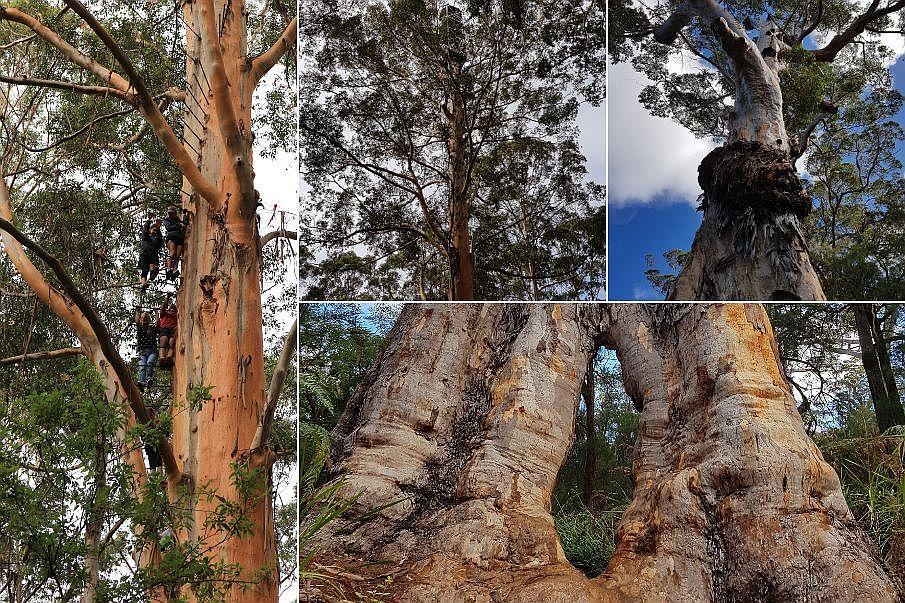 Giant Trees Australia Zachodnia 10 miejsc, które musisz zobaczyć w Australii Zachodniej